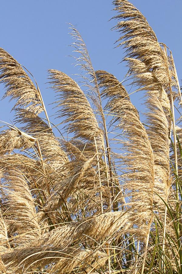 Pampasy trawy dmuchanie w świetle słonecznym i wiatrze, złoty i srebny fotografia royalty free
