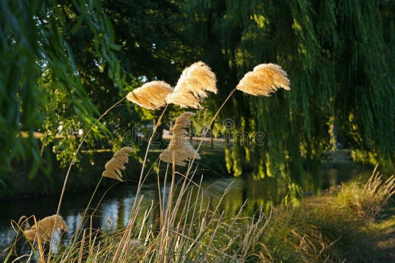 Pampasy trawy fronds cios w wiatrze obrazy stock