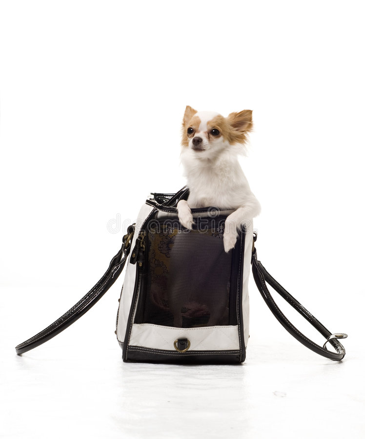 Download Pampered Chihuahua stock photo. Image of furry, food, beauty - 8712108