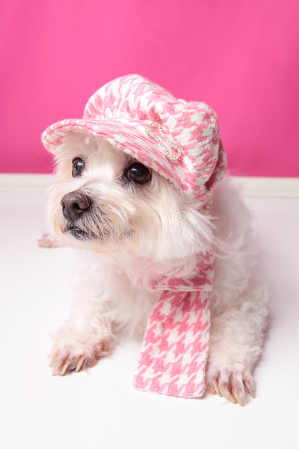 Download Pampered maltese terrier stock image. Image of scarf - 25214299