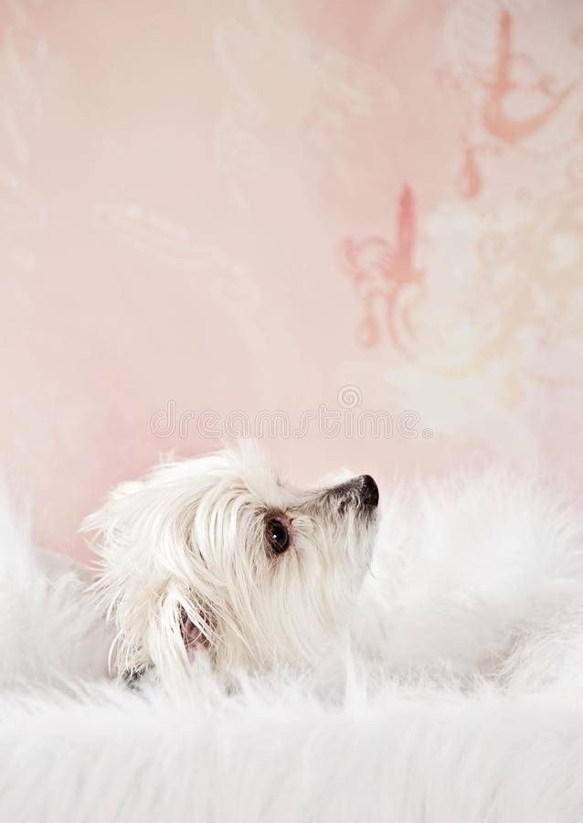 Download Pampered pet stock image. Image of cute, extravagant - 31169331