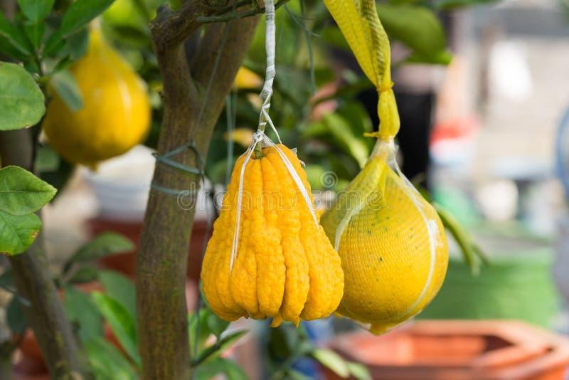 Pamplemousse décoratif jaune sur l'arbre Le pamplemousse est un symbole de la prospérité, ainsi le fruit est souvent servi au ` l photos stock