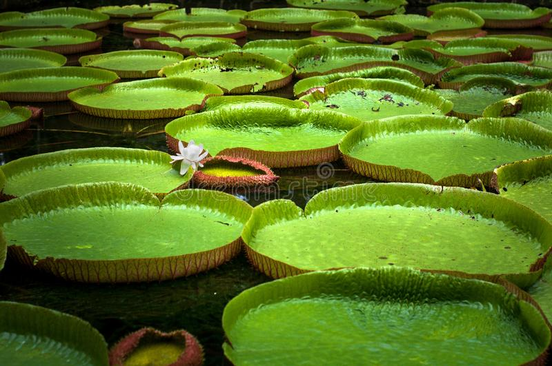 Pamplemousses botanical garden, pond with Victoria Amazonica Giant Water Lilies. Mauritius royalty free stock photo