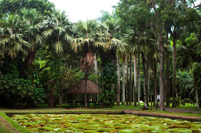 Pamplemousses botanical garden, pond with Victoria Amazonica Giant Water Lilies. Mauritius stock image