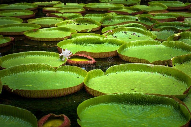 Pamplemousses ogród botaniczny, staw z Wiktoria Amazonica Gigantycznymi Wodnymi lelujami zdjęcie royalty free