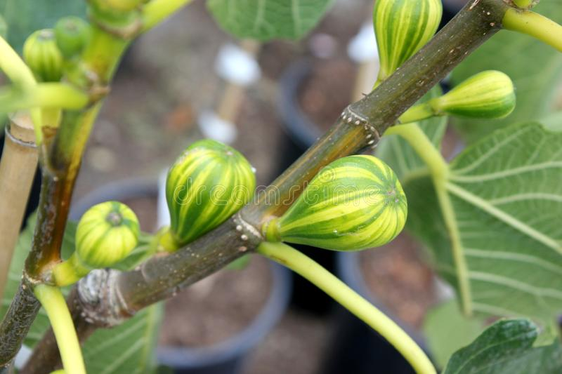 Panache Tiger Fig Tree, Striped Tiger Fig, Ficus carica `Panache`,. Ornamental quality deciduous tree with yellow fruit striped with green, consumed fresh or stock photo