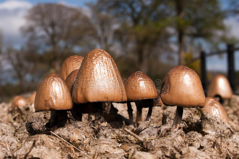 Panaeolus Semiovatus蘑菇 图库摄影