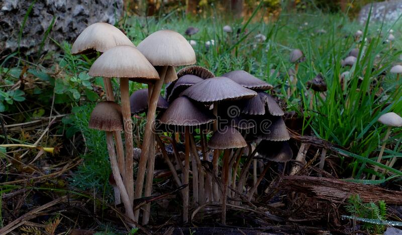 Panaeolus Sphinctrinus. Free Public Domain Cc0 Image