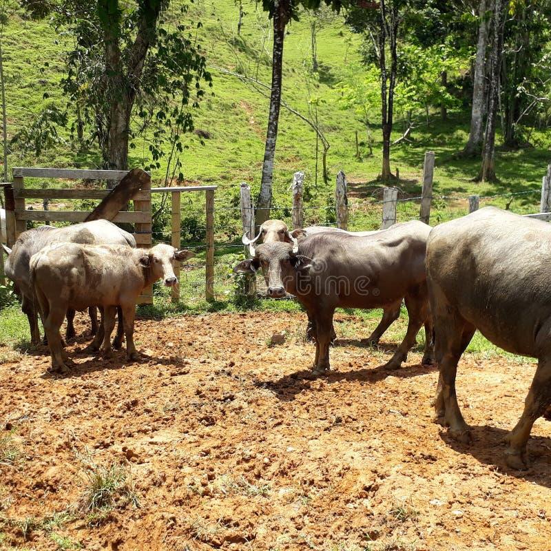 Panamá buffel arkivbild