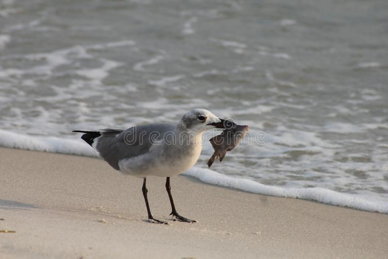 Seagull with food panama city beach florida gulf of Mexico stock image