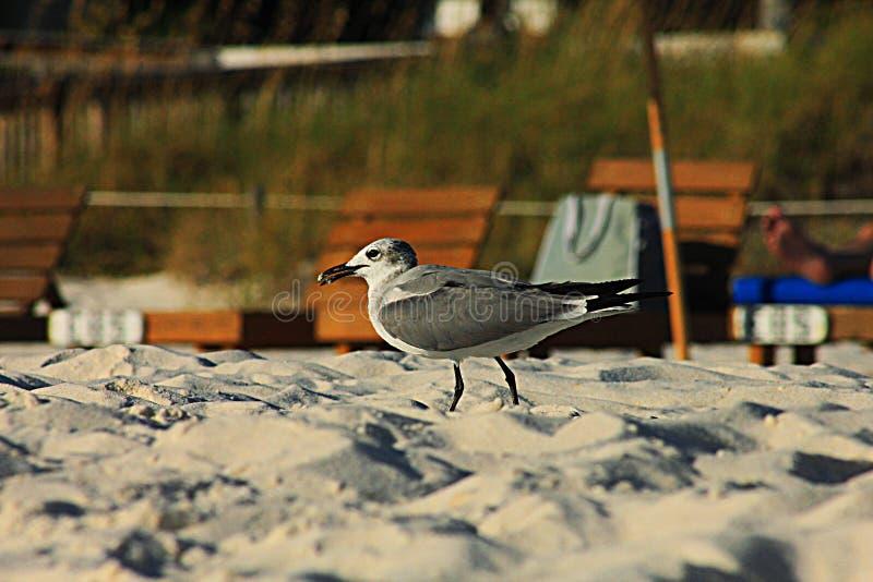 Panama city Beach seagull on the beach royalty free stock photo