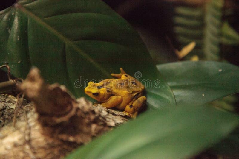 Panamanian Złoty żaby Atelopus zeteki jest rzadki zdjęcie royalty free