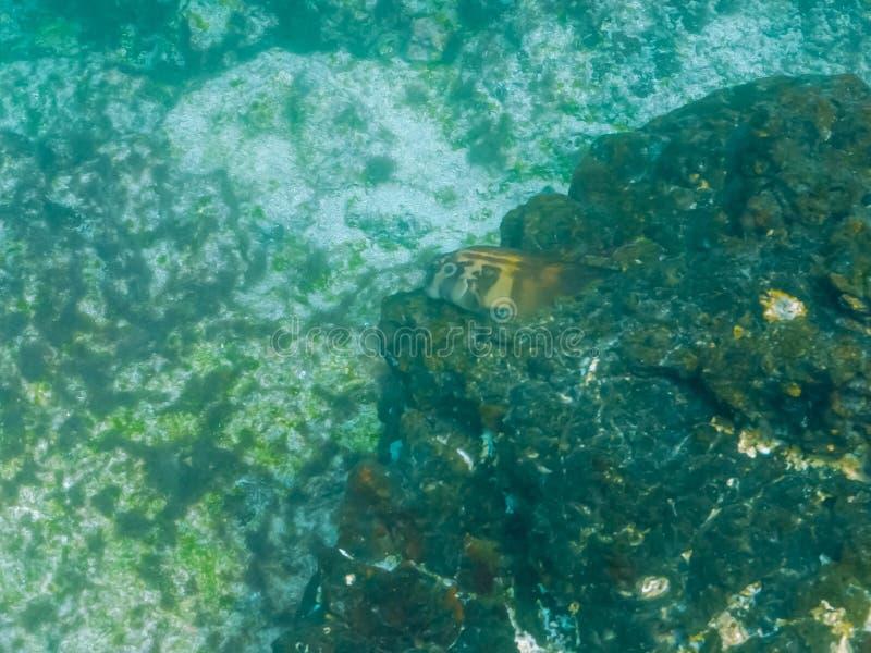 Panamic fanged le blenny au bartolome d'isla dans Galapagos photo stock