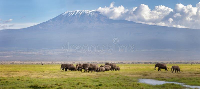 Panamra of elephants walking through the grass beneath Mt Kilimanjaro royalty free stock photo