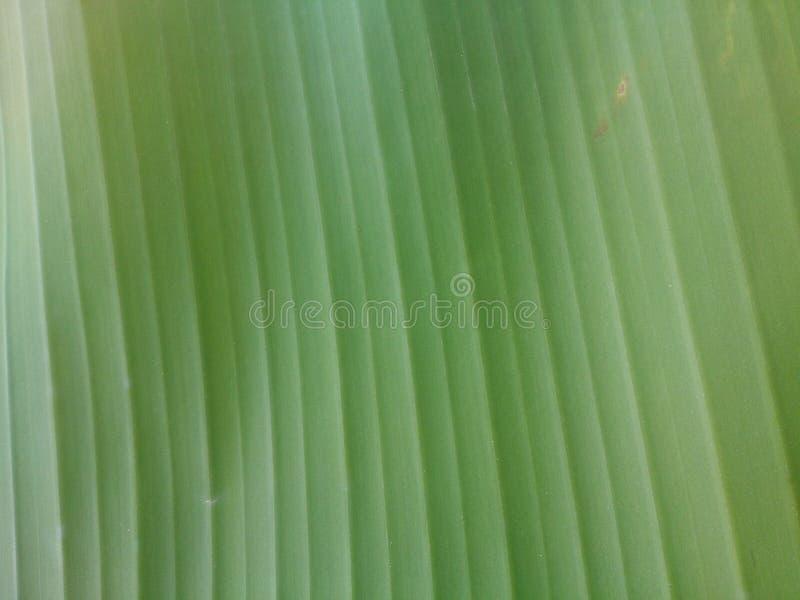 Panana绿色叶子纹理 库存图片