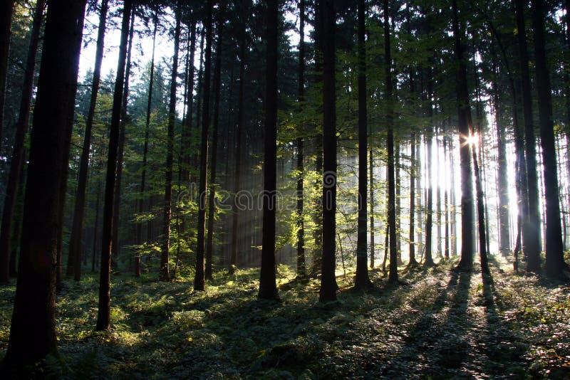 panaramic solig sikt för skog arkivbild