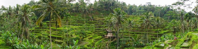 Panaromic widok Tegallalang Rice taras - odpowiada Ubud, Bali, Indonezja - zdjęcie stock