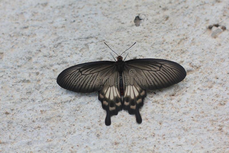 Pancia alta vicina dei aristolochiae comuni di Rose Butterfly Pachliopta immagine stock libera da diritti