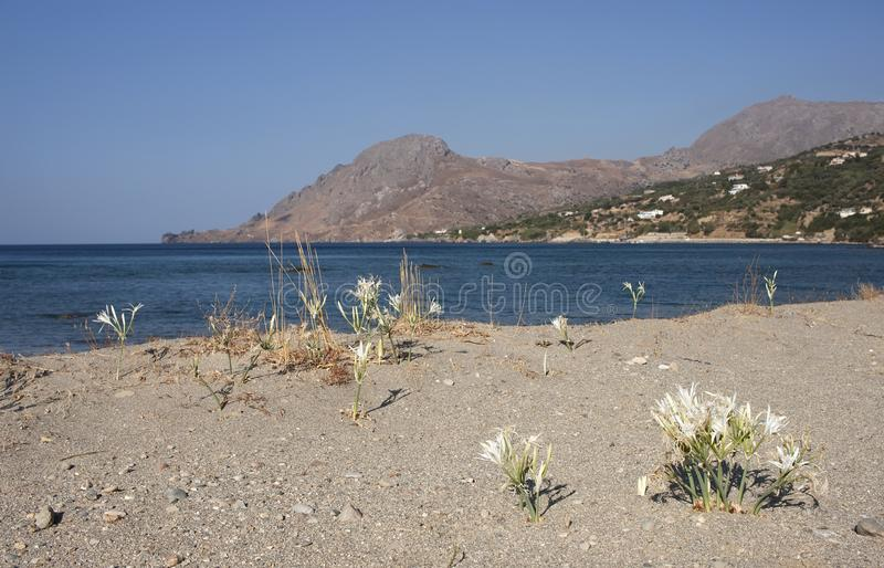 Sand lily in crete island stock images