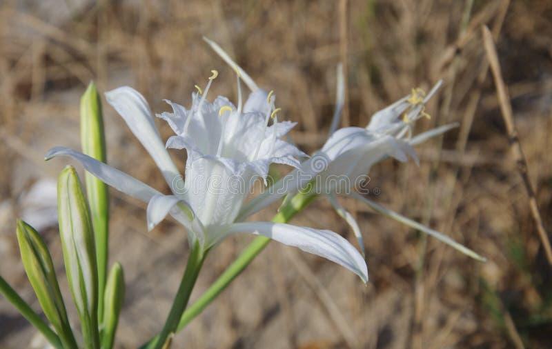 Pancratium Maritimum. Common Name: Sea daffodil, Sea lily, Sand royalty free stock image