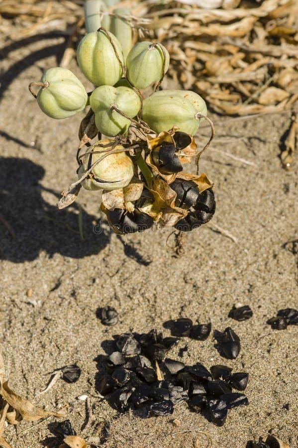 Pancratium maritimum, frö för havspåskliljasvart och fröskidor arkivfoton