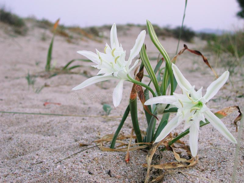Pancratium maritimum plant on the beach royalty free stock images
