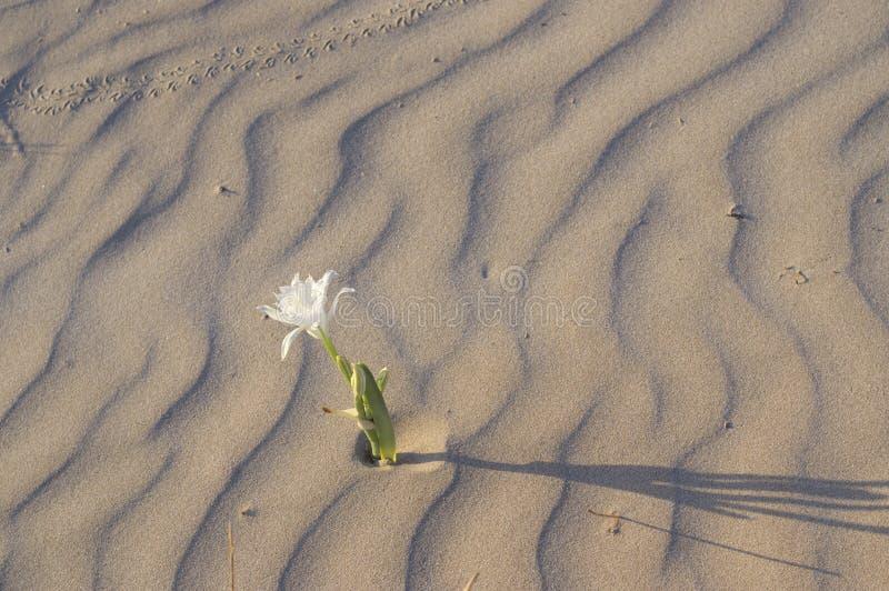 Pancratium maritimum - Sea daffodil royalty free stock photos