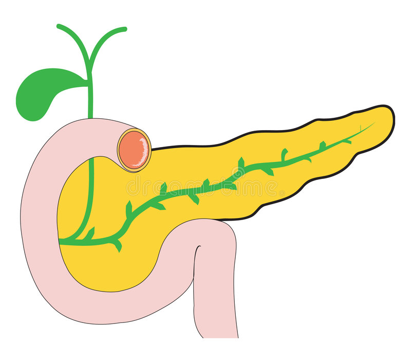 Pancreas immagine stock