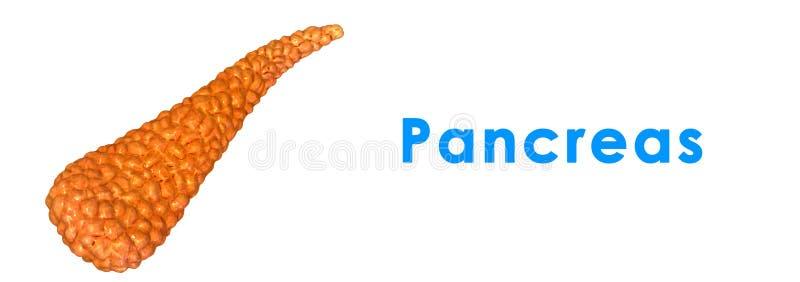 pancreas royalty illustrazione gratis