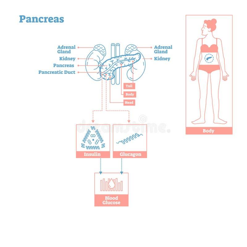 Pancreas - Glands of Endocrine System. Medical science vector illustration diagram. Biological scheme with insulin, glucagon influencing blood sugar in human royalty free illustration