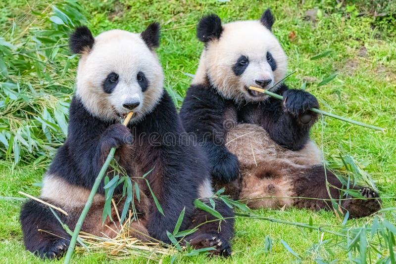 Panda, η μητέρα και οι νεολαίες του στοκ φωτογραφία με δικαίωμα ελεύθερης χρήσης