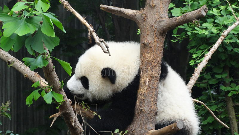 Panda μωρών Sichuan Panda στην επιφύλαξη στοκ φωτογραφία με δικαίωμα ελεύθερης χρήσης