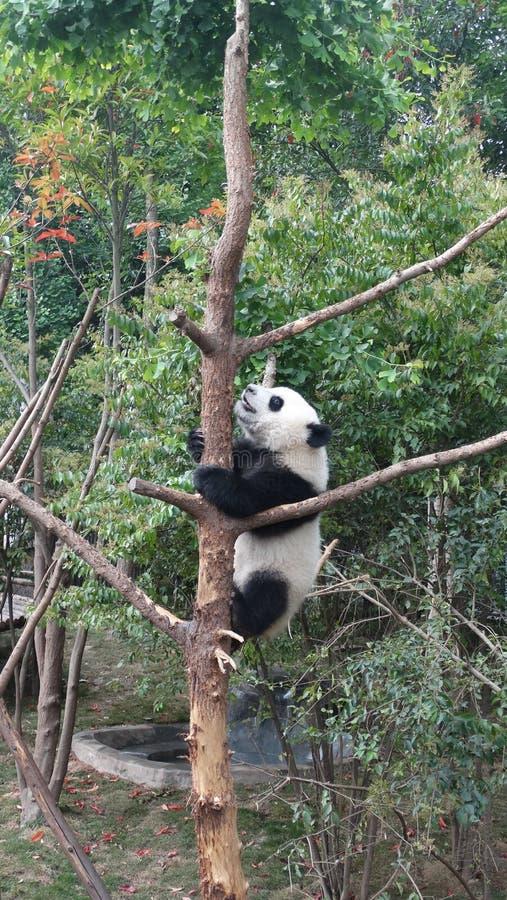 Panda μωρών Sichuan Panda στην επιφύλαξη στοκ εικόνες