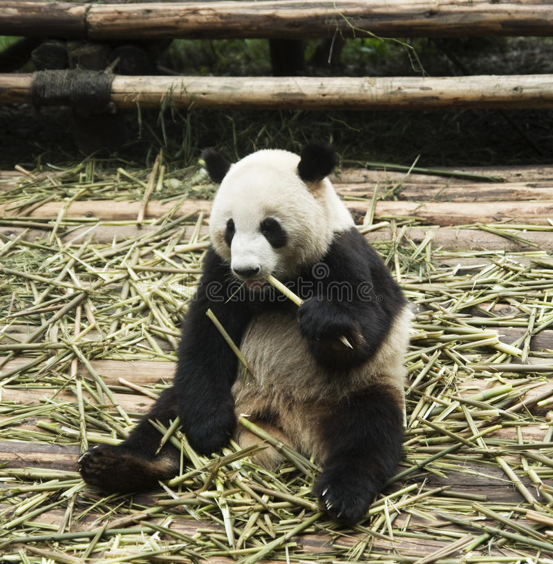 panda σίτισης στοκ φωτογραφίες με δικαίωμα ελεύθερης χρήσης