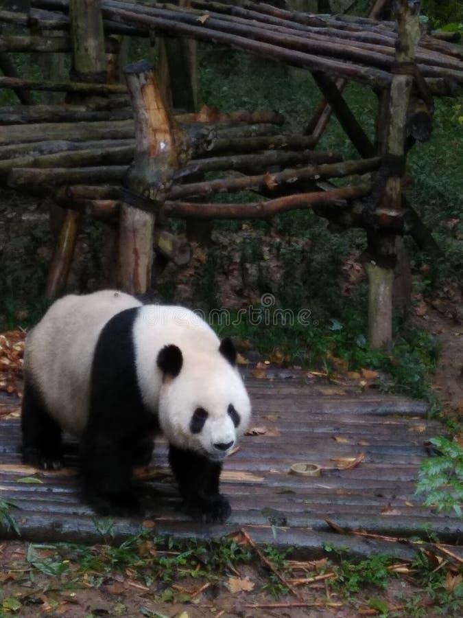 Panda στην Κίνα στοκ εικόνες