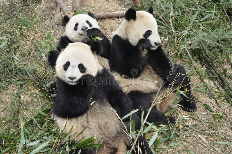 panda της Κίνας chengdu στοκ φωτογραφία με δικαίωμα ελεύθερης χρήσης