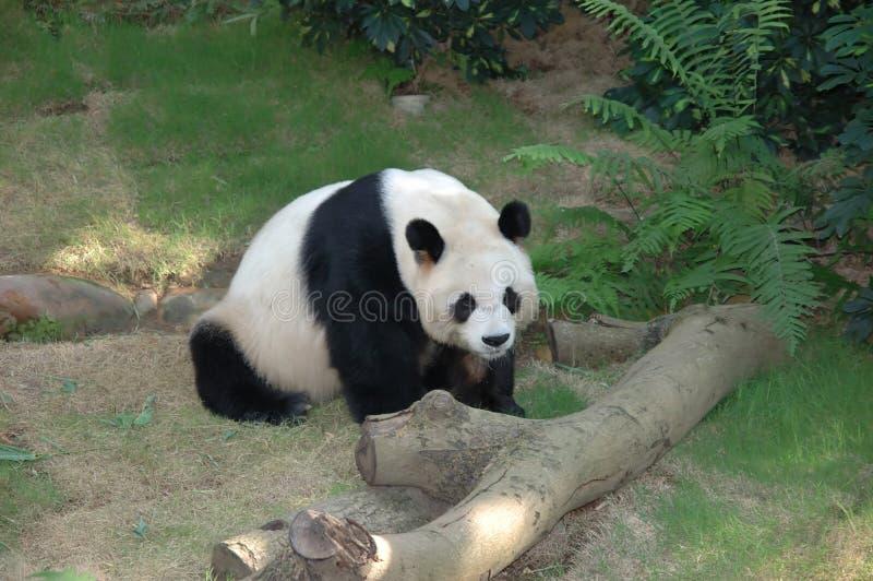 Panda stock afbeeldingen