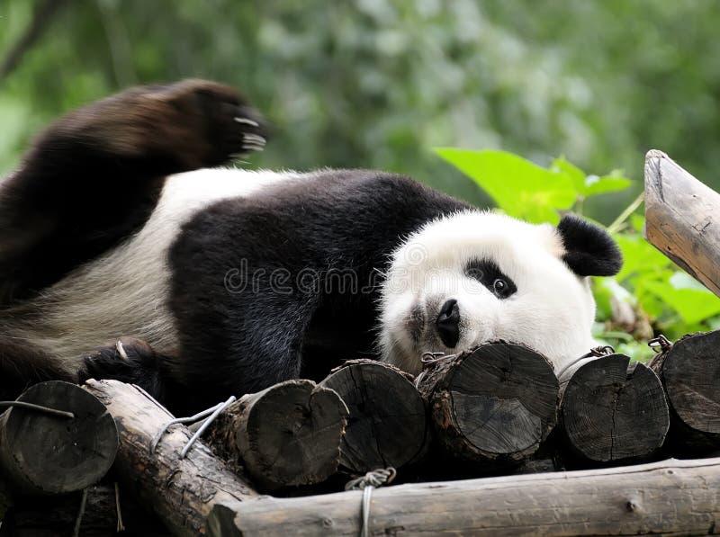 Panda royalty free stock photo