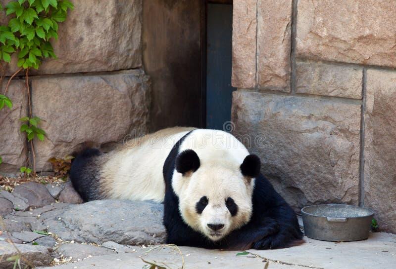 panda photographie stock
