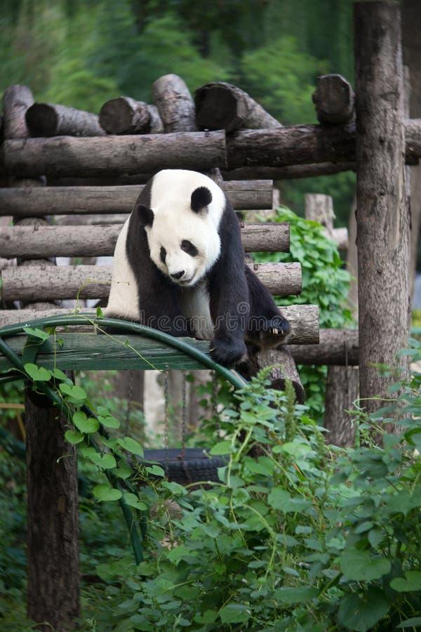 Download Panda stock image. Image of nature, endanger, reserve - 21920151