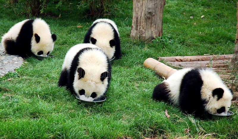 Panda stockfotografie