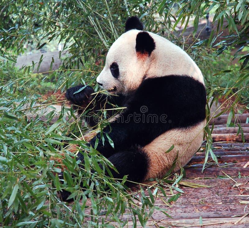 panda zdjęcie stock