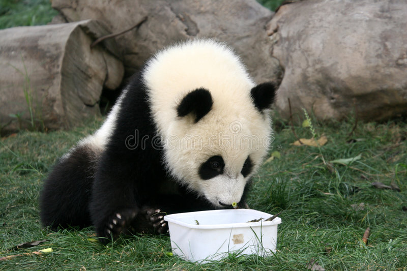 Download Panda stock image. Image of black, tame, giant, protected - 2395191