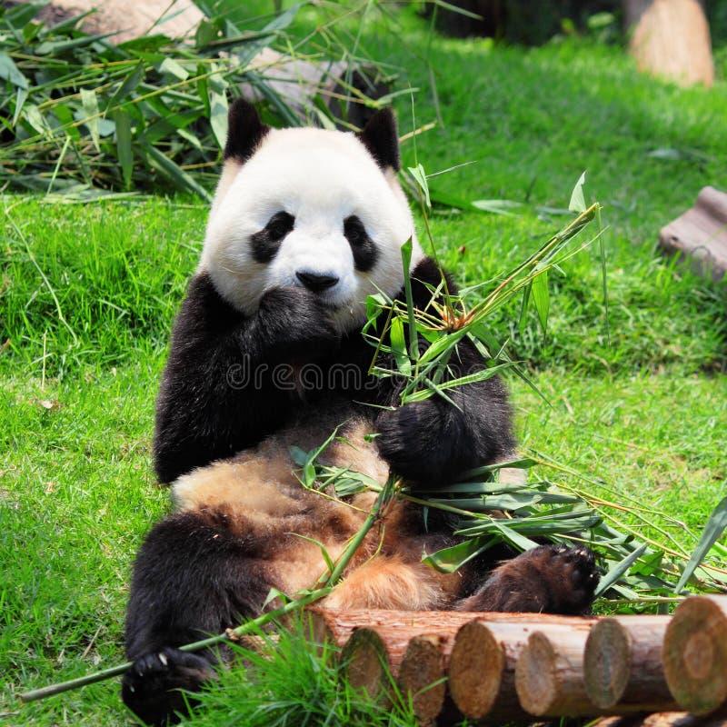 Download Panda stockbild. Bild von blick, fett, pelz, dschungel - 26352799