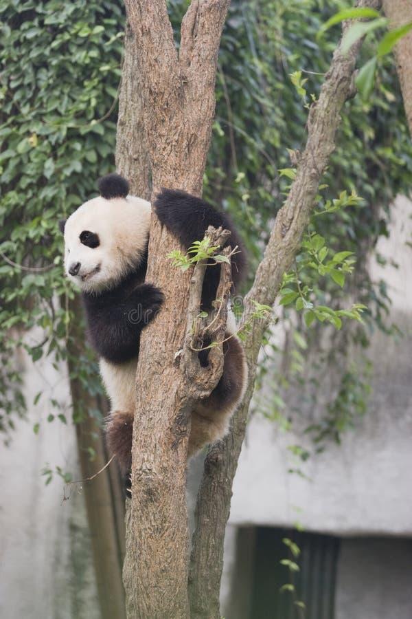 Download Panda arkivfoto. Bild av vitt, angus, leka, kines, jätte - 27278304