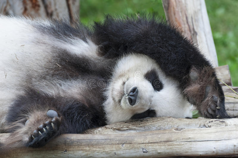 Panda royalty-vrije stock afbeeldingen