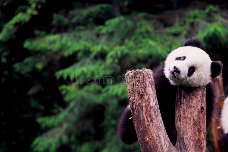 Panda imagenes de archivo