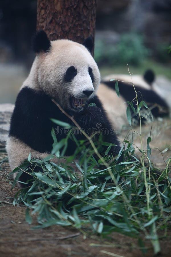 Panda royalty free stock images