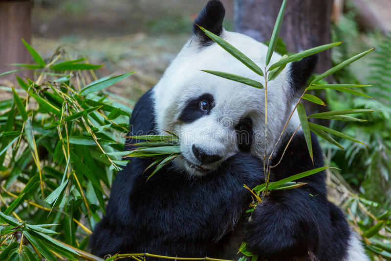 Panda image libre de droits