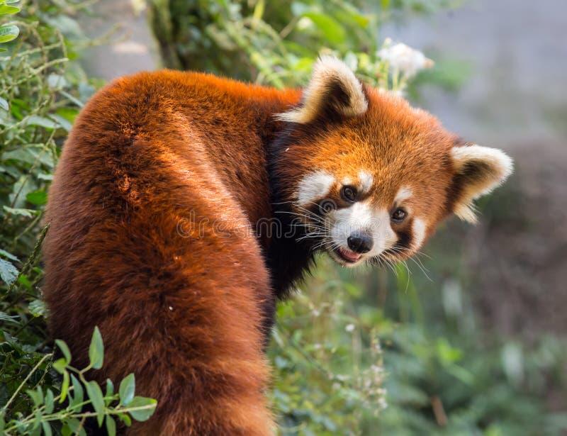Panda alaranjada surpreendente imagem de stock